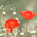 Red Poppies Print by Kim Hojnacki