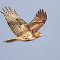 Red Tailed Hawk 20100101-1 Print by Wingsdomain Art and Photography