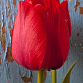 Red Tulip Poster by Garry Gay