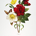 REDOUTE: HELLEBORE, 1833 Print by Granger
