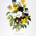 REDOUTE: PANSY, 1833 Print by Granger
