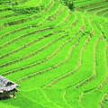 Rice field terraces Poster by MotHaiBaPhoto Prints