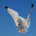 Ring billed gull in flight Poster by Mircea Costina Photography