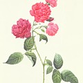 Rosa Indica Caryophyllea Poster by Pierre Joseph Redoute