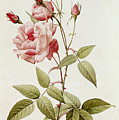 Rosa Indica Vulgaris Print by Pierre Joseph Redoute