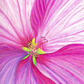 Rose Mallow Poster by Amy Tyler