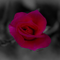 Rose of Solitude Print by DigiArt Diaries by Vicky B Fuller