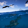 Sailfish And Frigate Birds Hunt Print by Paul Nicklen