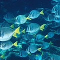 School Of Surgeonfish Cruising Reef Poster by James Forte