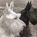 Scottish Terrier Dogs in Sepia Print by Jennie Marie Schell