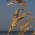 Sea Oats at Hunting Island State Park Print by Anna Lisa Yoder