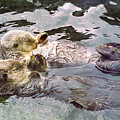 Sea Otters Holding Hands Poster by BuffaloWorks Photography