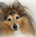 Sheltie Dog - A sweet-natured smart pet Poster by Christine Till