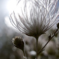 Shimmering Flower I Print by Ray Laskowitz - Printscapes