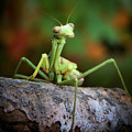 Silly Mantis Poster by Karen M Scovill