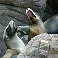 Singing Sea Lions Print by Anthony Jones