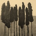 Skinny Trees in Sepia Poster by Marsha Heiken