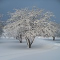 Snow-covered Apple Tree Poster by Erica Carlson