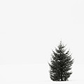 Solitary Evergreen Tree Print by Jennifer Squires