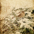 Sparrow In Winter I - Textured Print by Angie Tirado