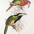 Spotted Bill Aracari Poster by Edward Lear