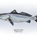 Spotted Sea Trout Print by Ralph Martens