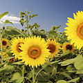 Sunflowers on North Shore Poster by Vince Cavataio - Printscapes