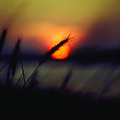 SUNSET AND SEA OATS HOLDEN BEACH NORTH CAROLINA Poster by BOB LIVENGOOD