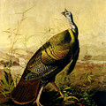 The American Wild Turkey Cock Poster by John James Audubon
