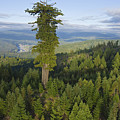 The Largest Patch Of Old Growth Redwood Print by Michael Nichols