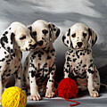 Three Dalmatian puppies  Print by Garry Gay
