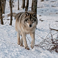 Timber Wolf In Snow Print by Michael Cummings