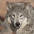 Timber Wolf Portrait Poster by Sandra Bronstein