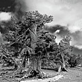 Twisted old Bristlecone Pine above Crater Lake - Oregon Poster by Christine Till
