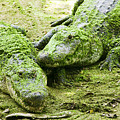 Two Alligators Print by Garry Gay