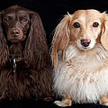 Two Dachshunds Print by Doxieone Photography