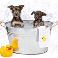 Two Scruffy Puppies in a Tub Print by Susan  Schmitz