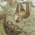 TWO-TOED SLOTH Poster by Granger