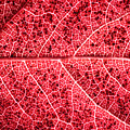 Veins in a Red Autumn Leaf Poster by Ryan Kelly