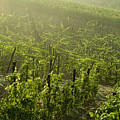 Vineyards Shrouded In Fog Print by Todd Gipstein