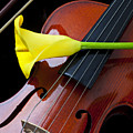 Violin with yellow calla lily Poster by Garry Gay