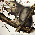 Virginian Opossum Print by John James Audubon