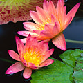 Water Lily Print by Bill Brennan - Printscapes