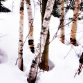 White Birch Trunks - Winter Fine Art Nature  Poster by Thomas Schoeller