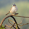 White Crowned Sparrow Poster by Laura Mountainspring