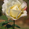 White Rose Print by Donald Tusa