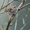 White Throated a Sparrow Poster by Laura Mountainspring