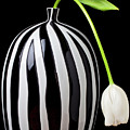 White tulip in striped vase Print by Garry Gay