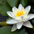 White Water Lily and Bud Print by Susan Isakson