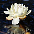 White Water Lily Print by Andrea Everhard